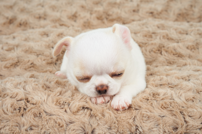 White puppy on mat